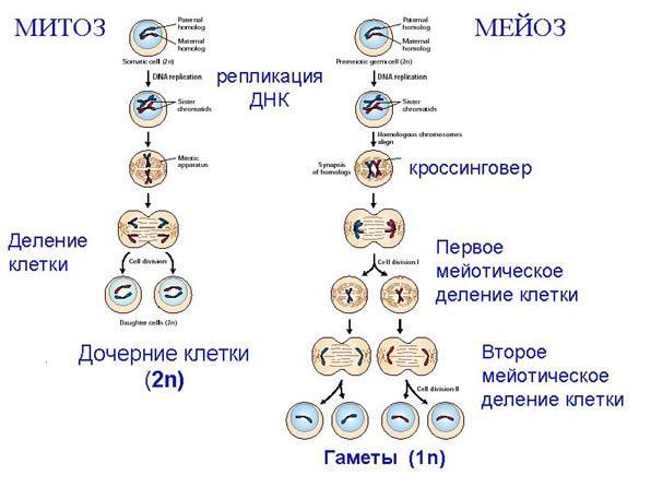 Уфимский Государственный Авиационный Технический Университет  При образовании гамет т е половых клеток сперматозоидов и яйцеклеток происходит деление клетки называемое мейозом Исходная клетка имеет диплоидный