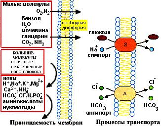 Биологические мембраны биохимия реферат 163