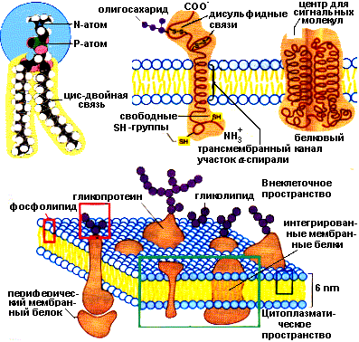 Биологические мембраны биохимия реферат 8078