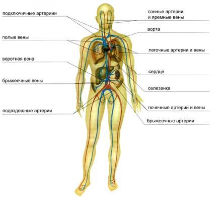 Курсовая работа кровеносная система 3329