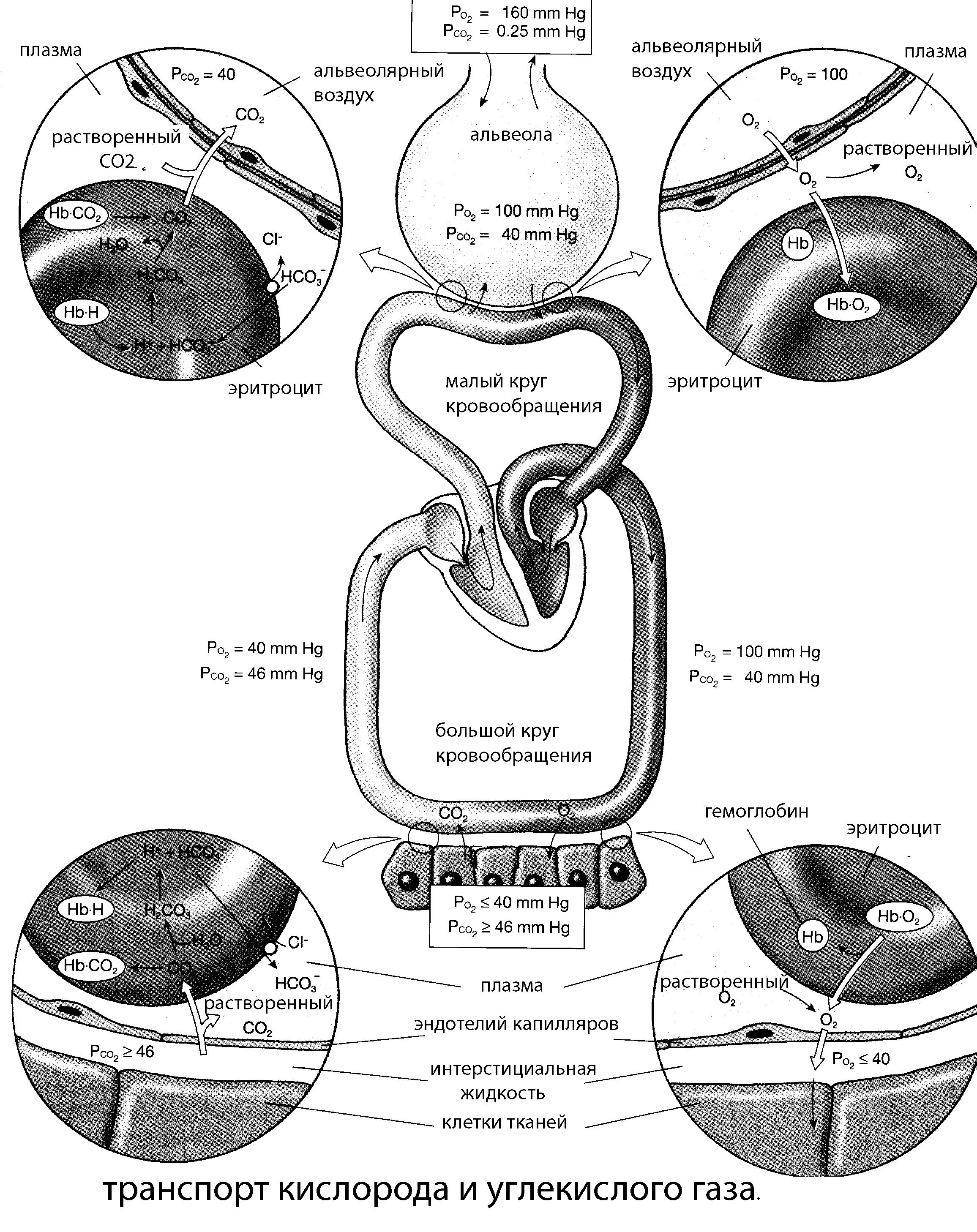 Особенности дыхания у детей внешнее дыхание. Транспорт газов кровью