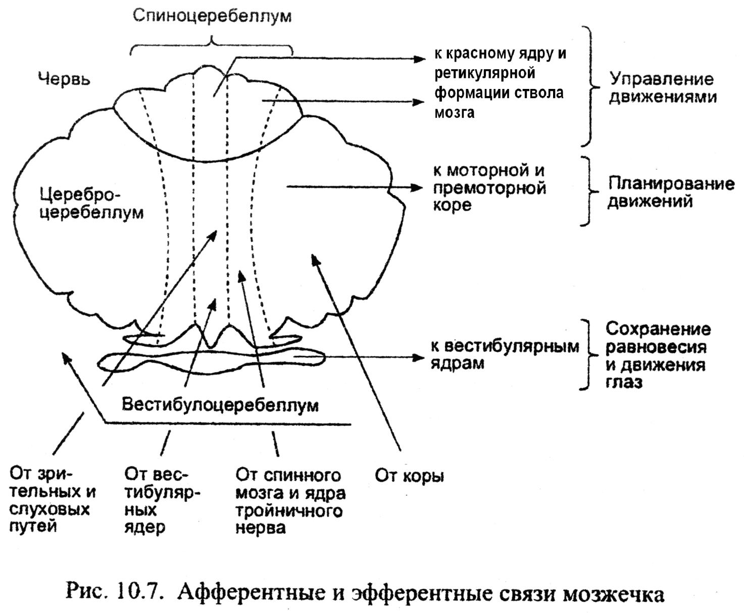 Мозжечок и его функции реферат 1062