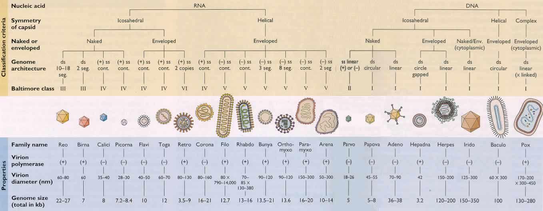 коронавирусы таксономия