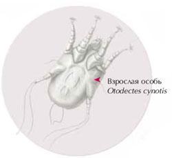 atreziya-analnogo-otverstiya-u-kotenka