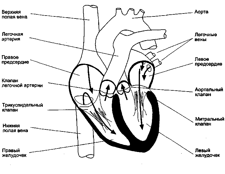Сердце схематический рисунок