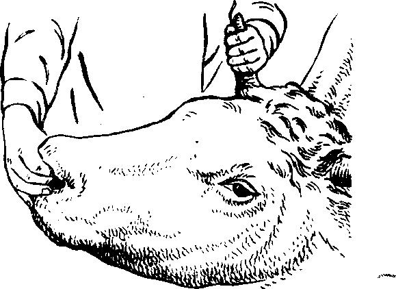 Введение  Фиксация коровы за рог и носовую перегородку