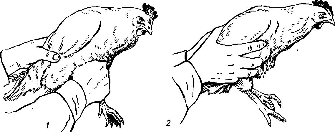 Введение  Домашнюю птицу фиксируют в основном удерживая ее в естественном положении за конечности и крылья Но при фиксации птиц следует помнить о том
