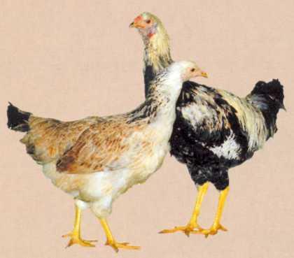 Технологический процесс инкубации породы кур хайсекс коричневый