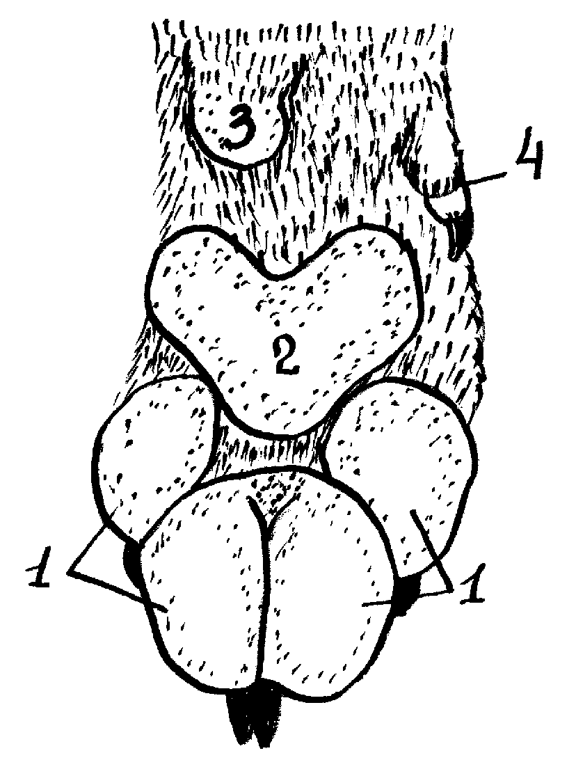 плечевая кость строение схема