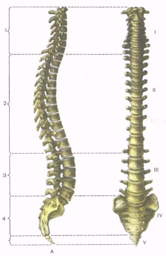 Картинки скелета человека позвоночник