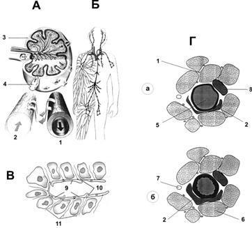 Артериальная и венозная кровь: чем они отличаются у человека