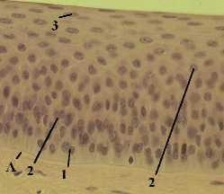 Многослойный неороговевающий эпителий роговицы