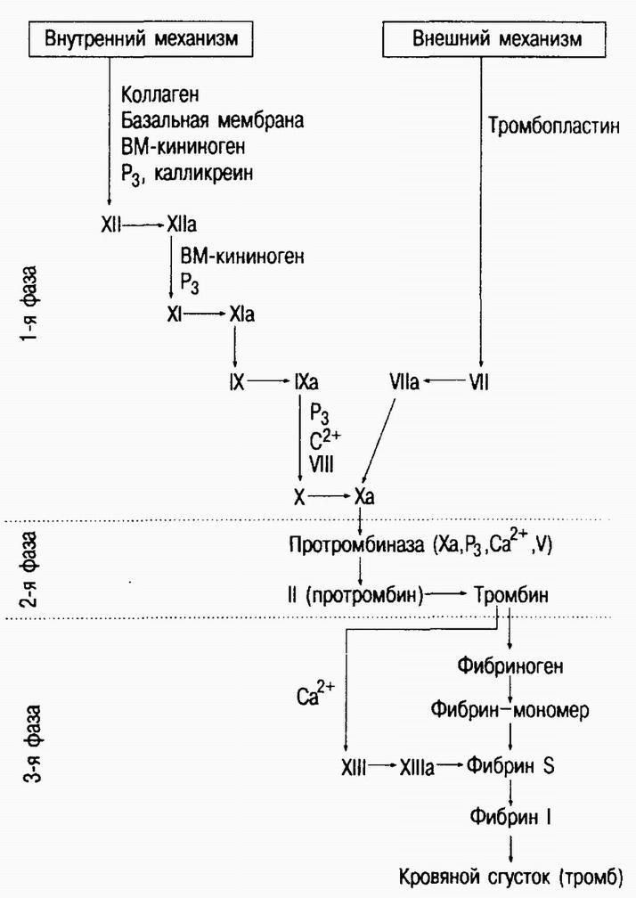 Кровь ее значение количество и состав понятие о гематокрите