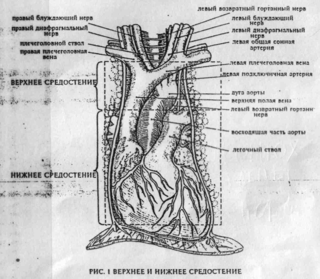 Сосуды и нервы средостения анатомия thumbnail