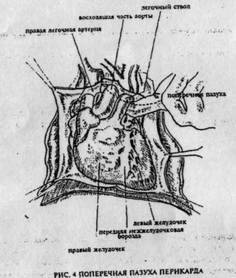 Сосуды и нервы средостения анатомия
