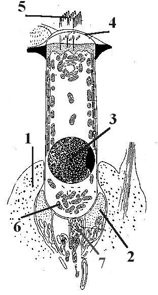 Схема строения волосковой клетки без