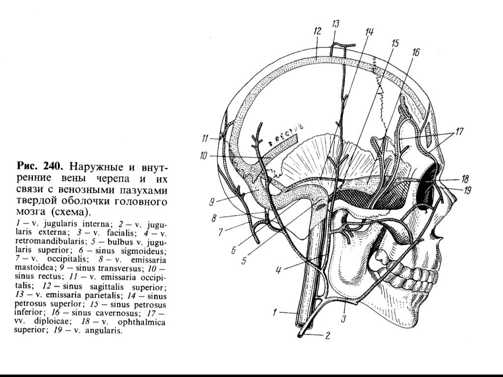 Артерии головы и шеи схема фото 892