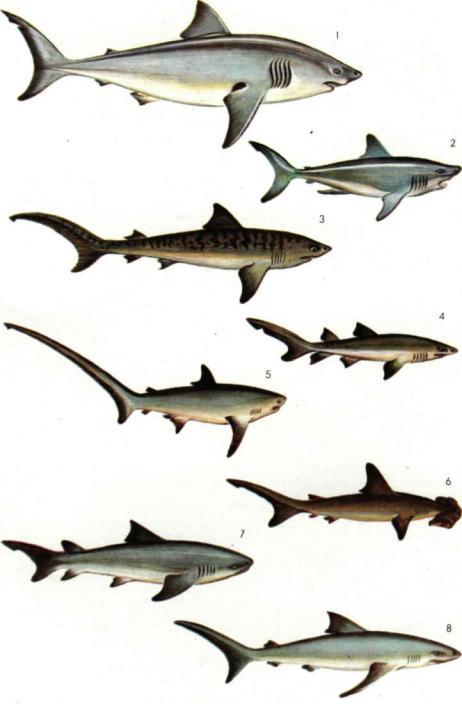 Акулы и их виды в картинках