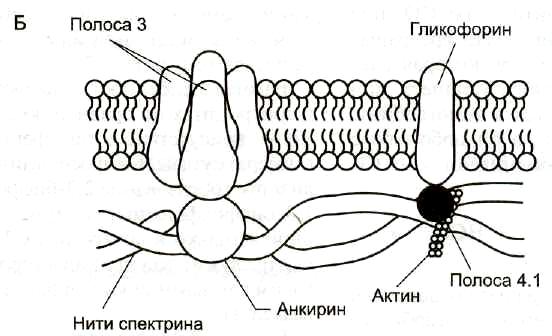 Место образования эритроцитов. Строение эритроцитов