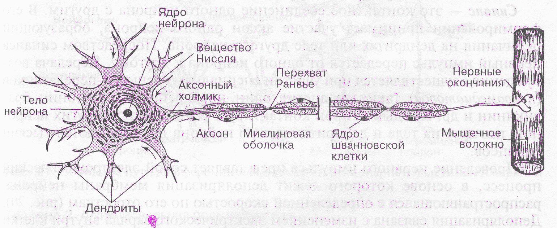 картинка нейрона с обозначениями приглушенный дымчатый
