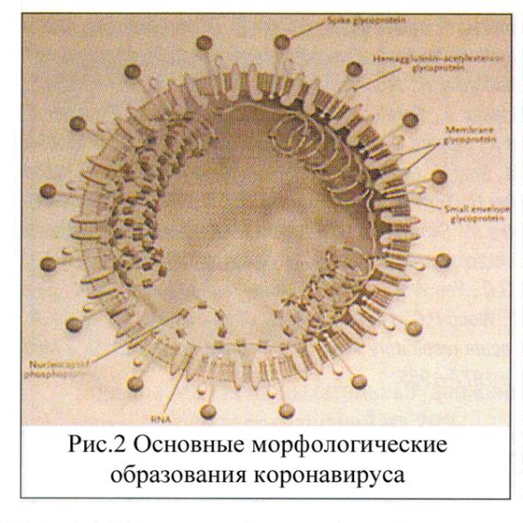 коронавирусы культивирование