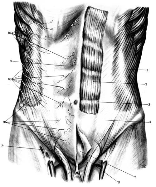 Топографическая анатомия передней брюшной стенки. хирургия грыж — Студопедия