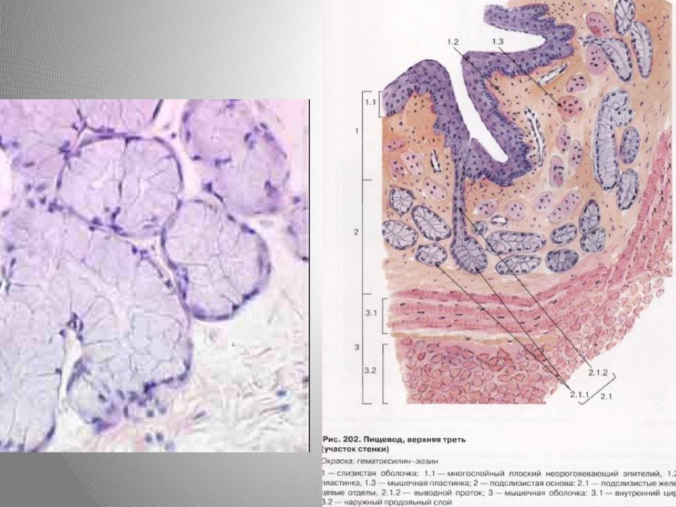 выход препарат пищевода гистология картинка есть