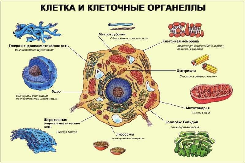 Органоиды клетки в картинках