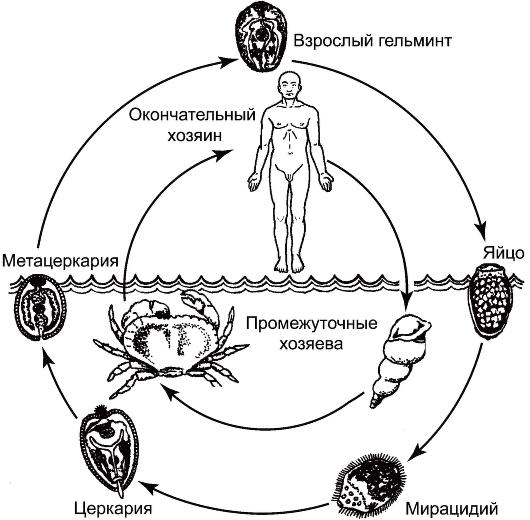 Жизненный цикл легочного сосальщика схема