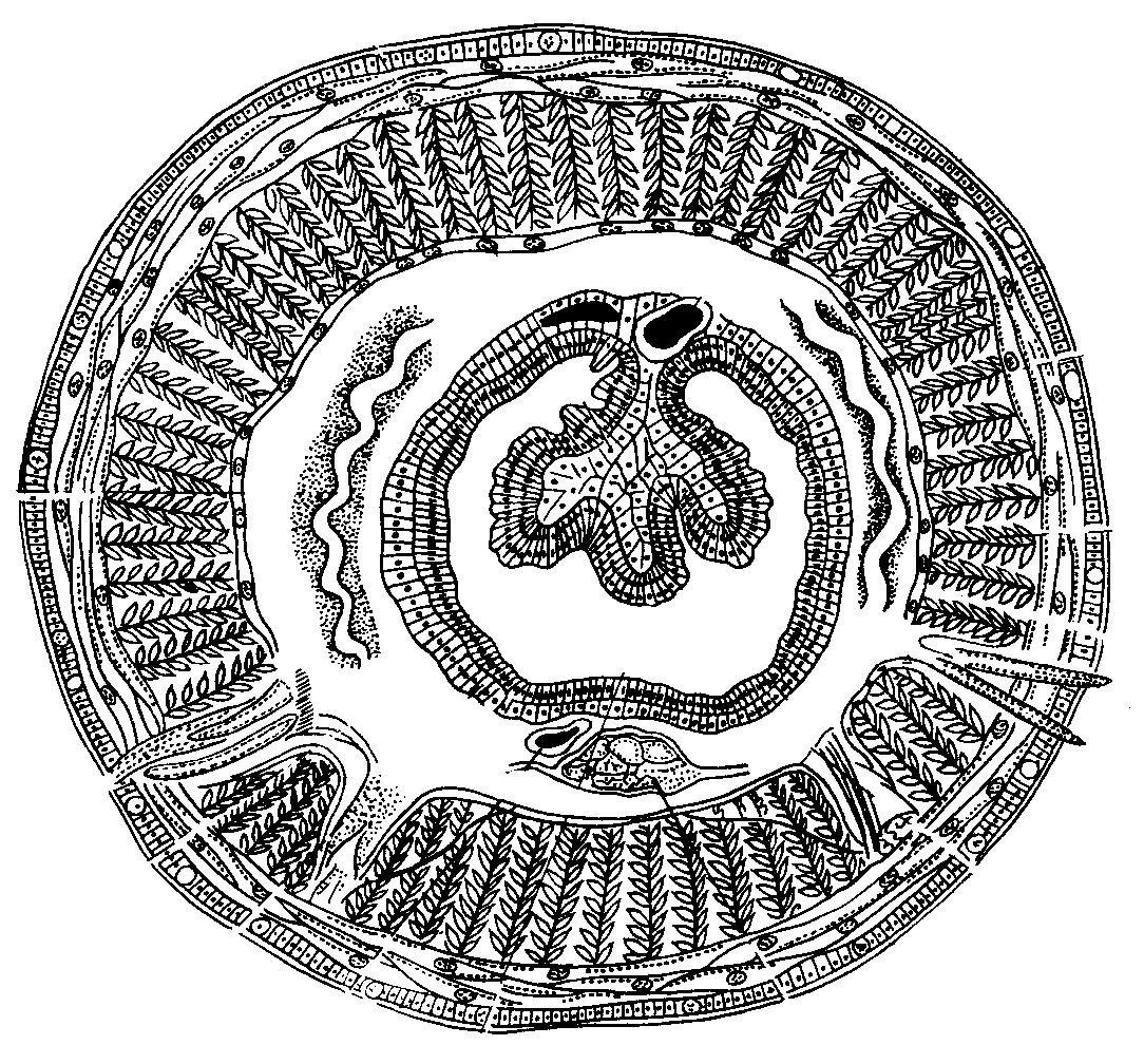 ланцетовидная двуустка рисунок схема