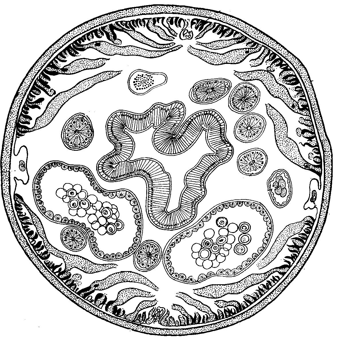 Схема поперечного разреза аскариды фото 357