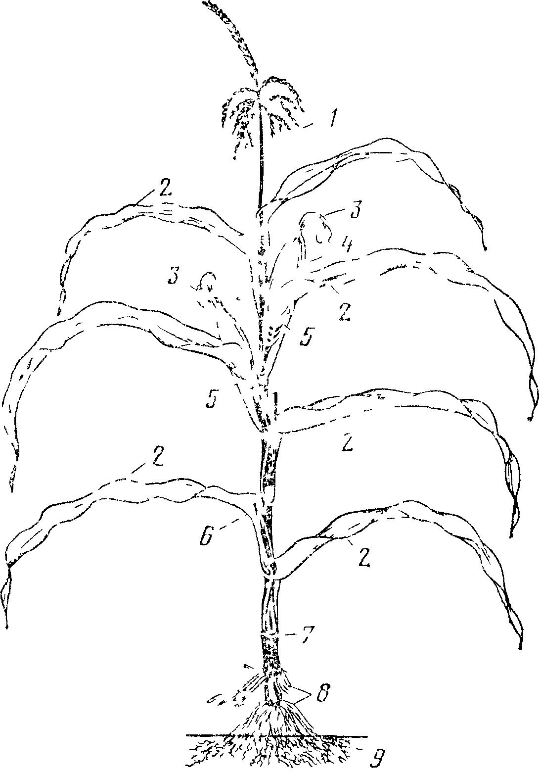 Початок кукурузи в вагине