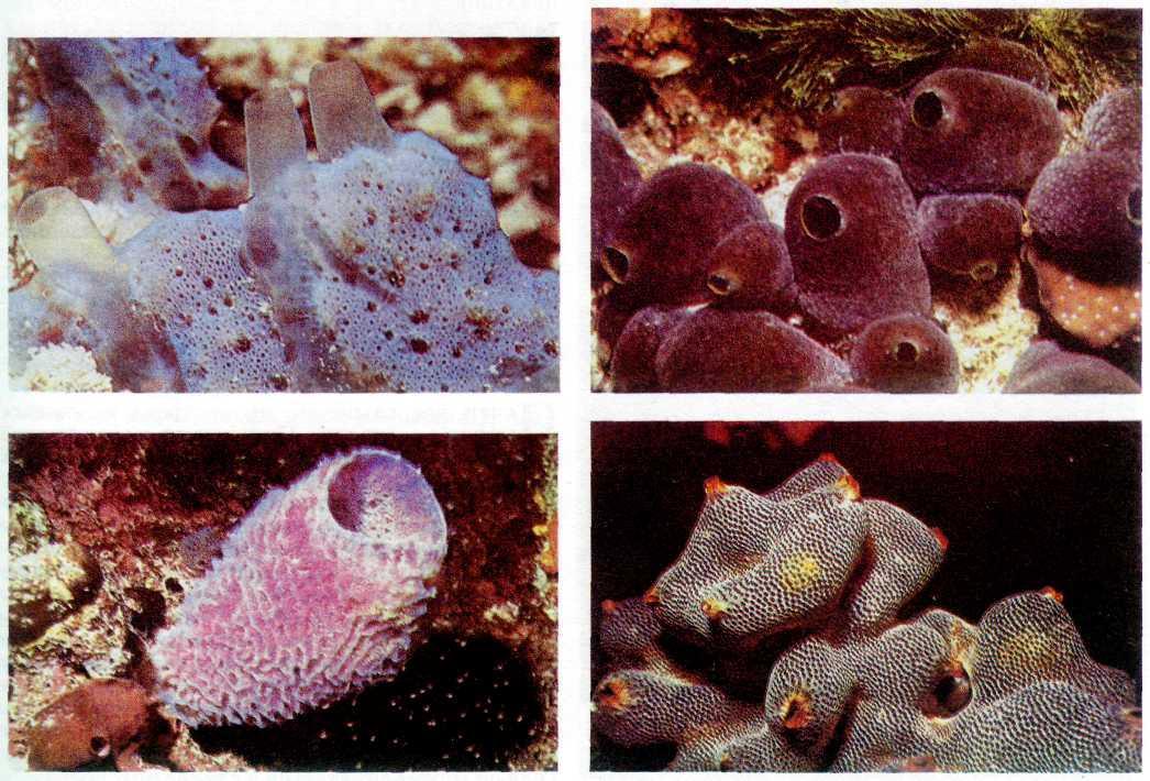 губки многоклеточные картинки можно легко найти