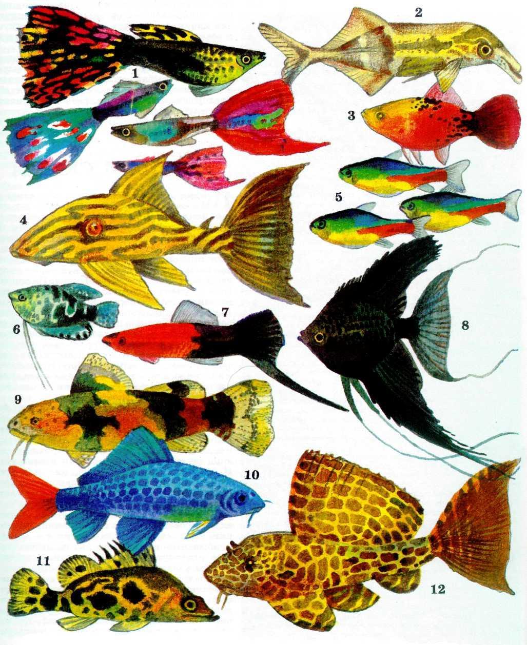 все названия аквариумных рыбок с картинками правильно приворожить