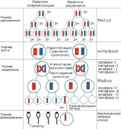 Сперматогенез и оогенез различия