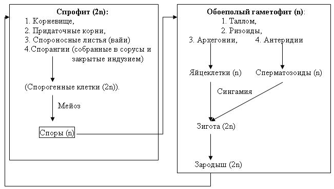 чёрная цикл развития папоротника схема с набором хромосом модели вытяжек