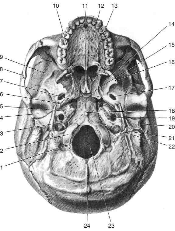 основание черепа анатомия в картинках даты