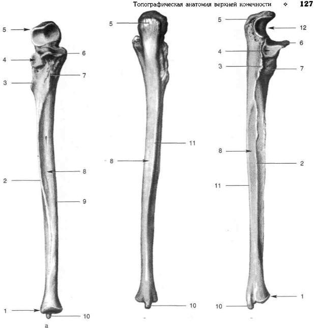 память картинка лучевой и локтевой кости хоркина