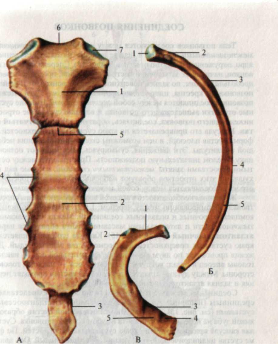 Строение ребра человека картинка