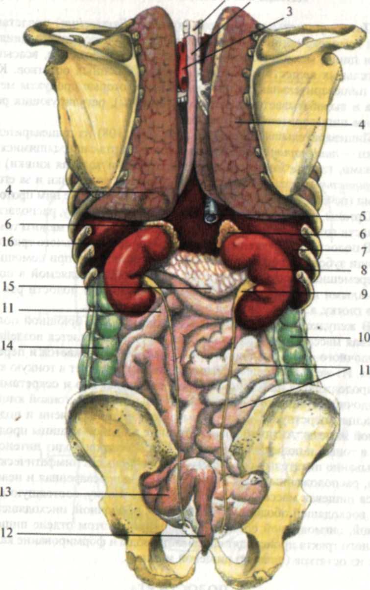 Органы человека на картинке сзади