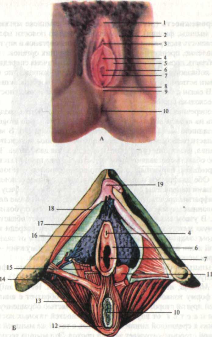 фото внутренние половые органы женщины каждый
