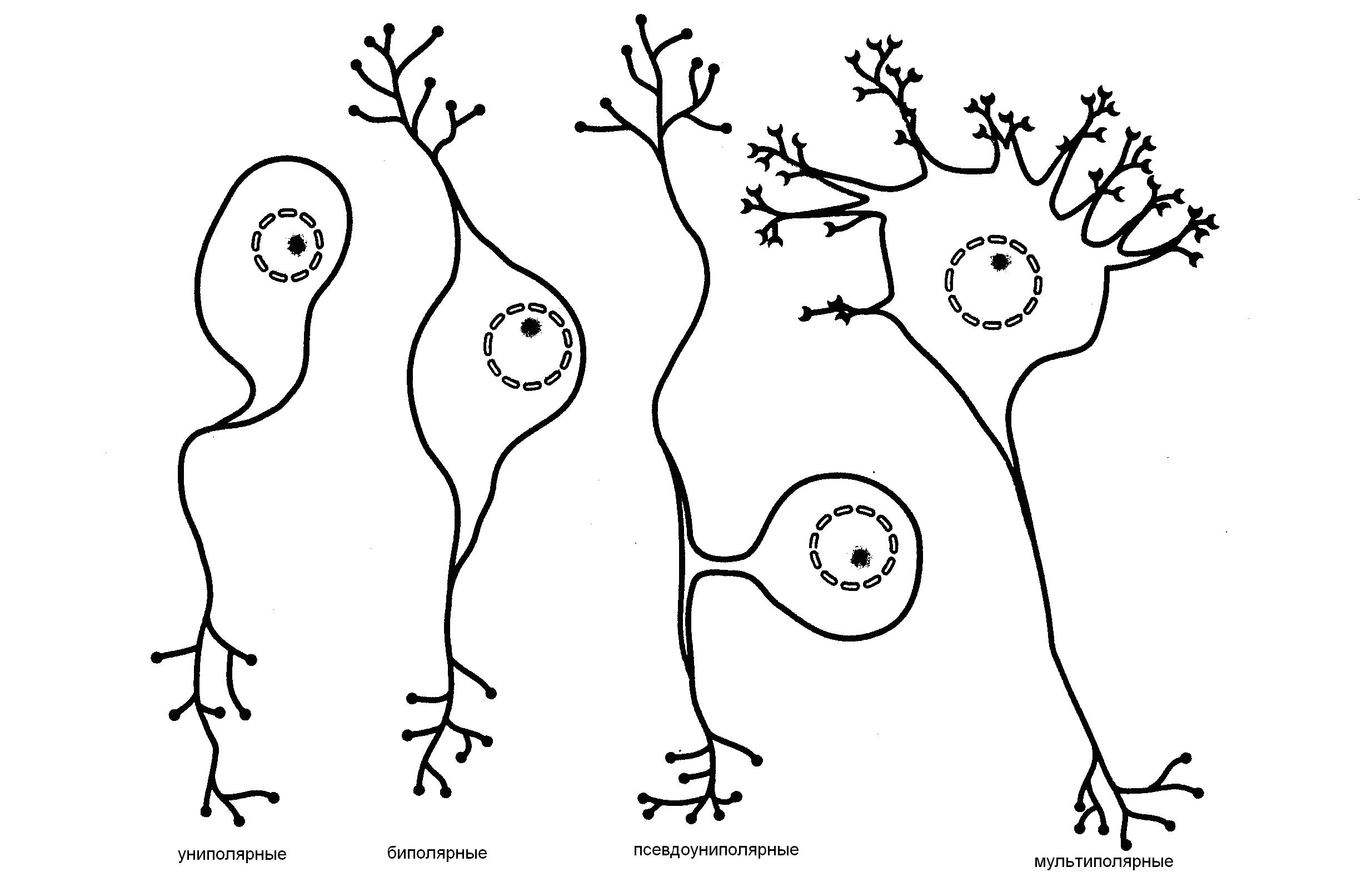 типы нейронов с картинками представлены