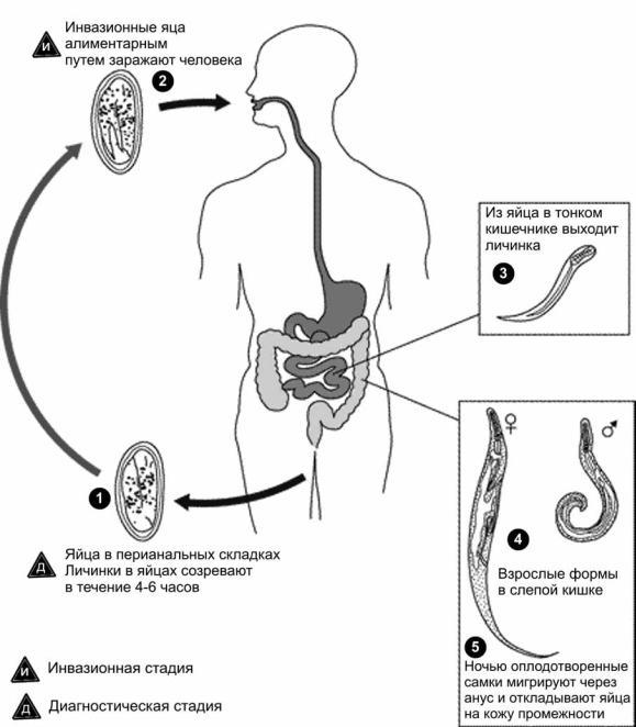 enterobius vermicularis biologia)