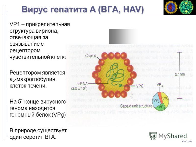 an analysis of the disease hepatitis b and the structure of the virus The early evolution of the hepatitis b, like that of all viruses, is difficult to establish the divergence of orthohepadnavirus and avihepadnavirus occurred another analysis with a larger data set suggests that hepatitis b infected humans 33,600 years ago (95% higher posterior density 22,000-47,100.