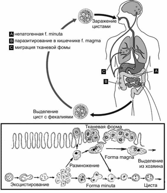Чем питается дизентерийная амеба