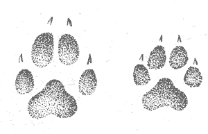 Следы лисы в картинках
