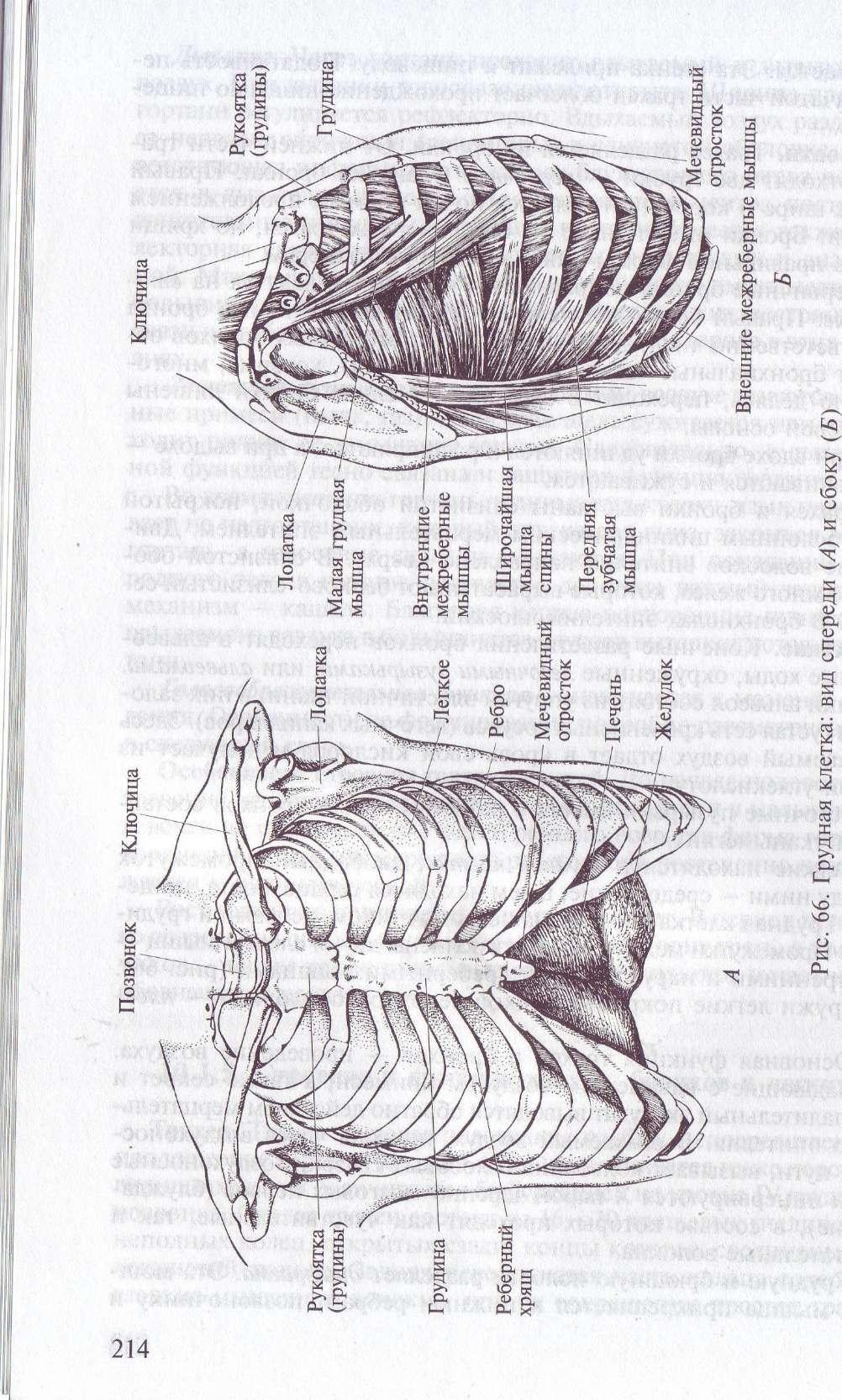 Анатомия трахеи бронхов легких грудной клетки диафрагмы и их функции thumbnail