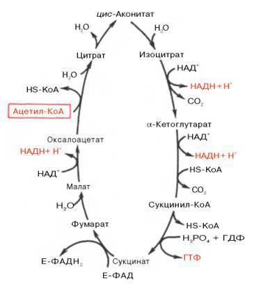 Суть ферментативного конвейера цикла кребса ленточный транспортер на авито бу