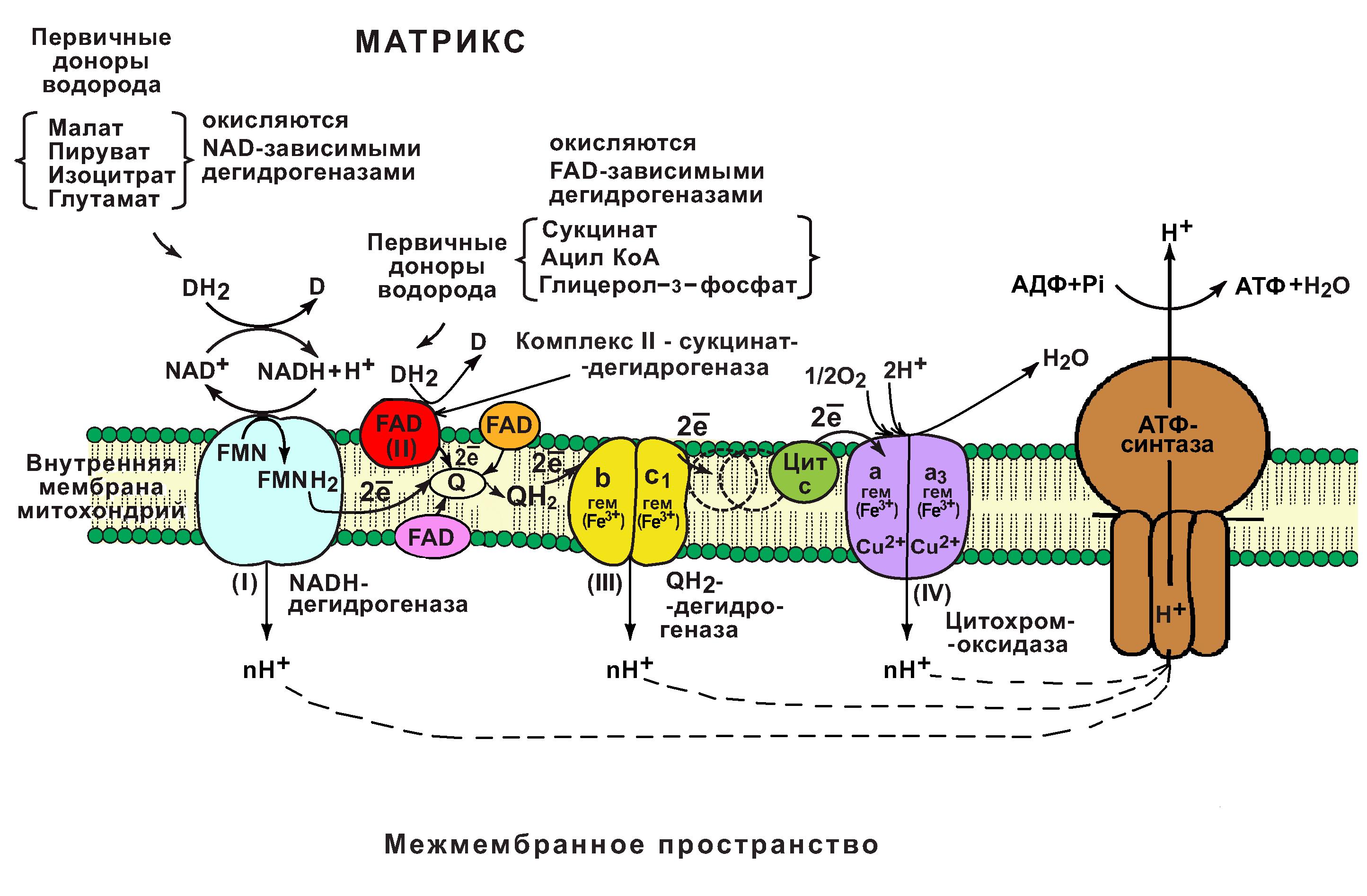 Дыхательная цепь схема митохондрии