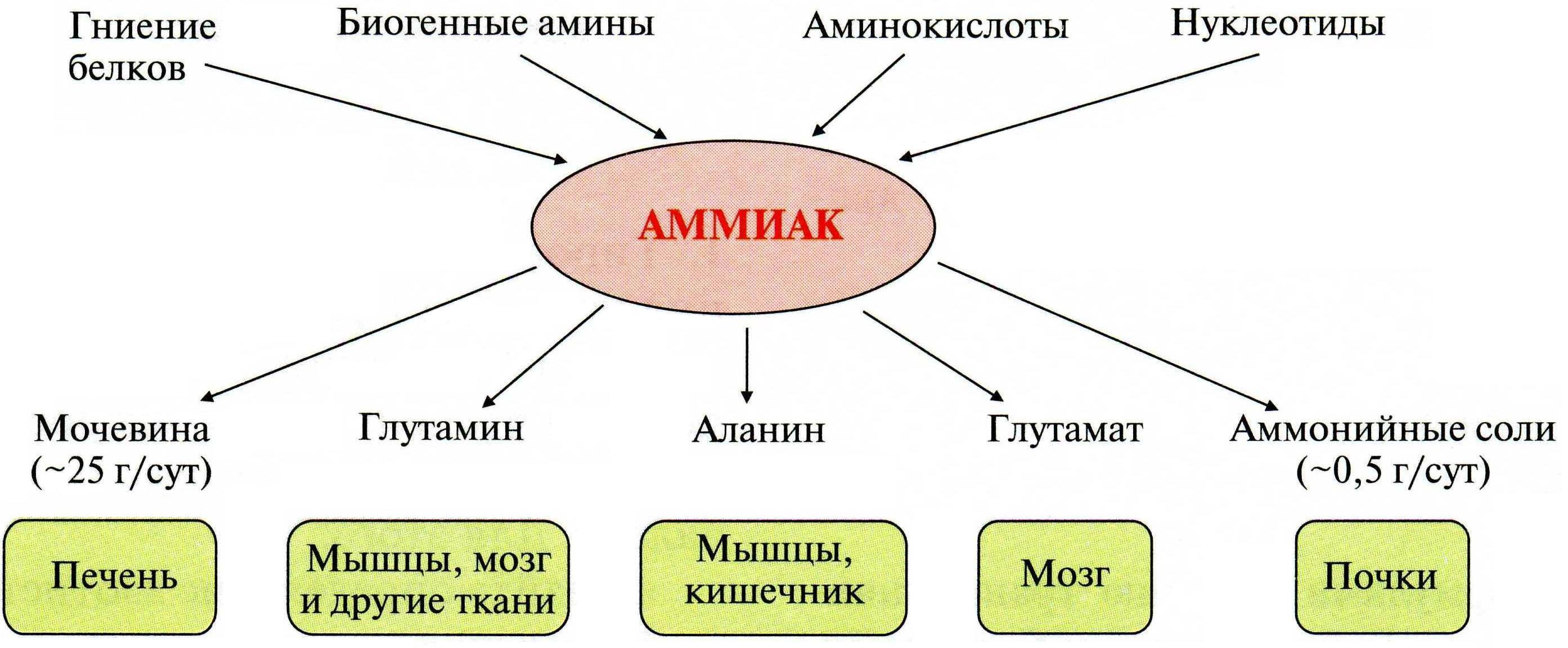 Пути связывания аммиака в организме реферат 5334